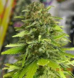 DinaFem Blue Widow.jpg
