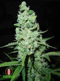 ak47-cannabis-seeds.jpg