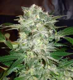 world-of-seeds-mazar-kush.jpg