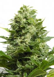 big-buddha-cheese-feminised-seeds-315-p.jpg