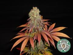 cannabis-rockbud-1_1_2_1.jpg