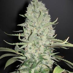 Female_seeds_WhiteWidow_BigBud.jpg