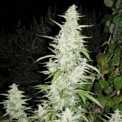 Female_seeds_Maroc.jpg
