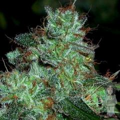 holy-smoke-swazi-gold-seeds_500.jpg