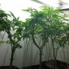 Motherplants f.l.t.r: Jack Herer(GHS),A.M.S.(GHS), Liberty Haze(BF)