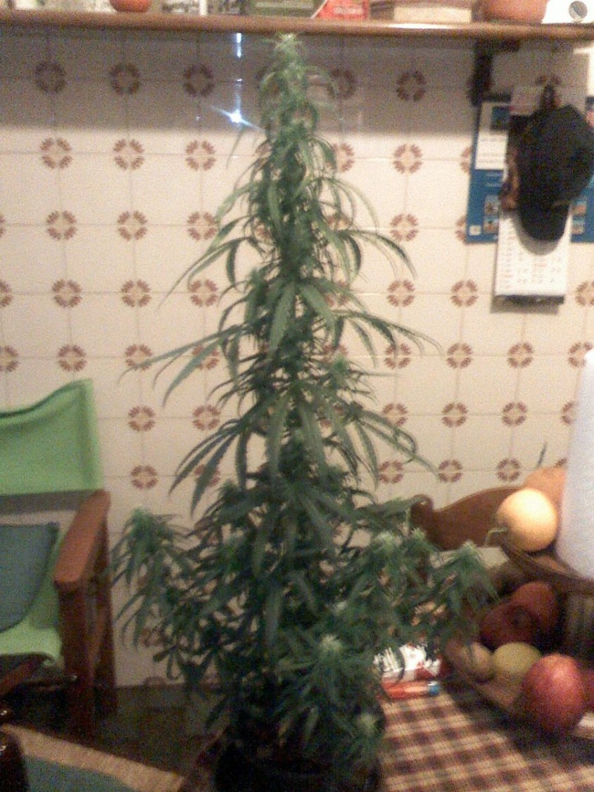 This is the Thay-G of GHSC. Don't laugh at me please!! I have used an a 2 liter pot's,  and woila', the Bonsai!!!