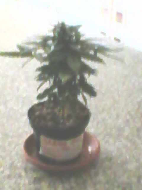 This is the Green-Matic experience, before to buy an a Grow Room. Pot of 1 Liter......