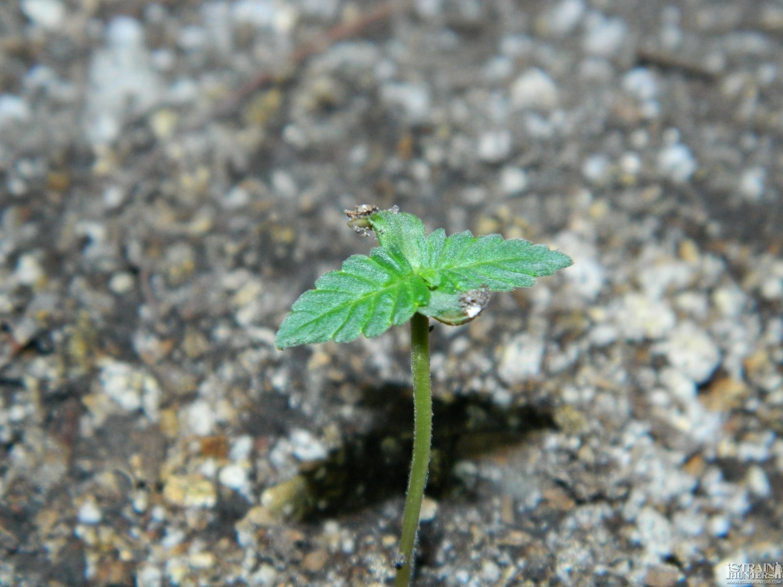 Marijuana Al Natural # 26 Cultivation with CO2