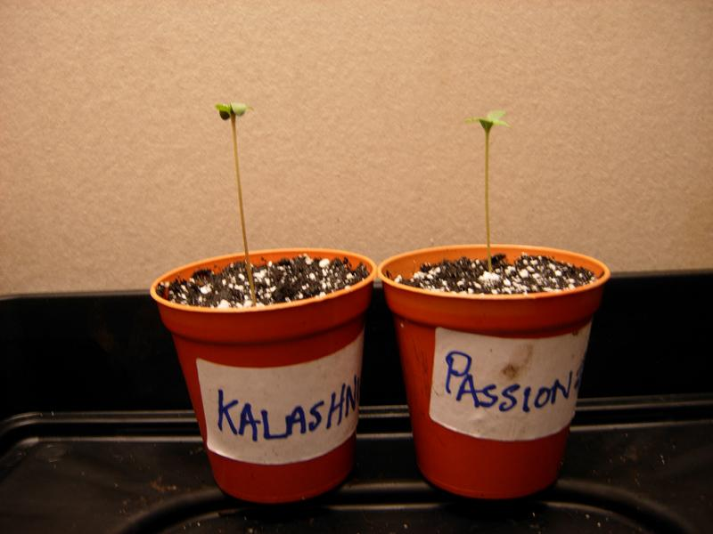 seedlings_kal_pass_side_view.jpg