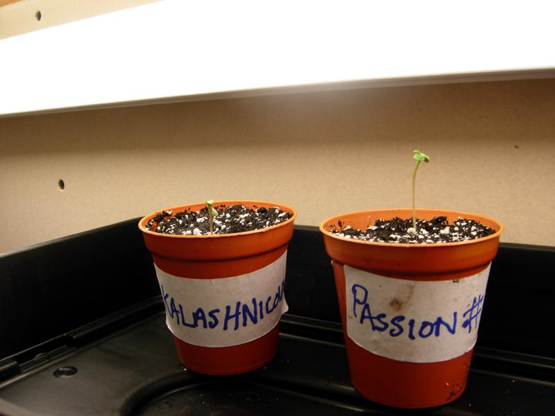 seedlings_passion1_kalashicova.jpg