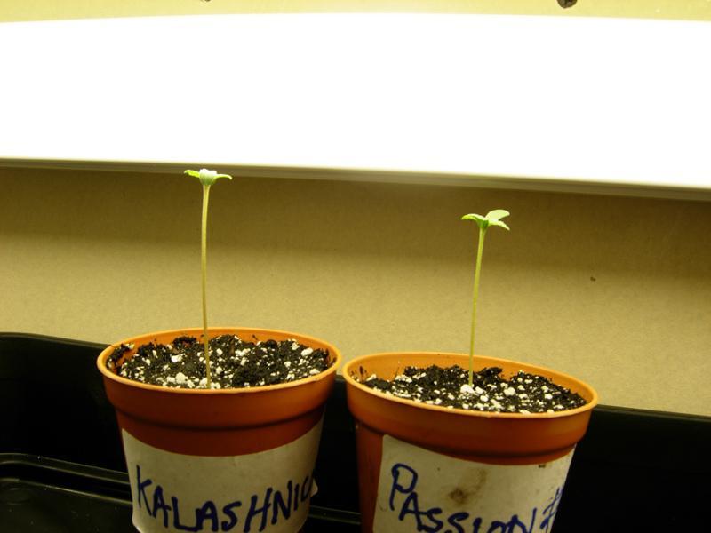 seedlings_under_light.jpg