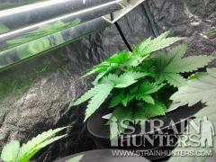 New SLH Week 2 veg