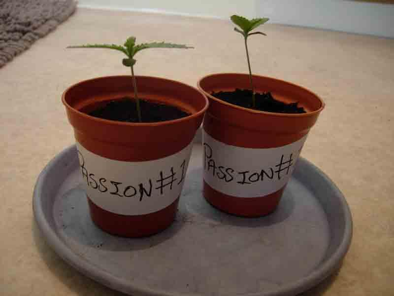 18may-2017-passion#1_seedlings_normal_light.jpg
