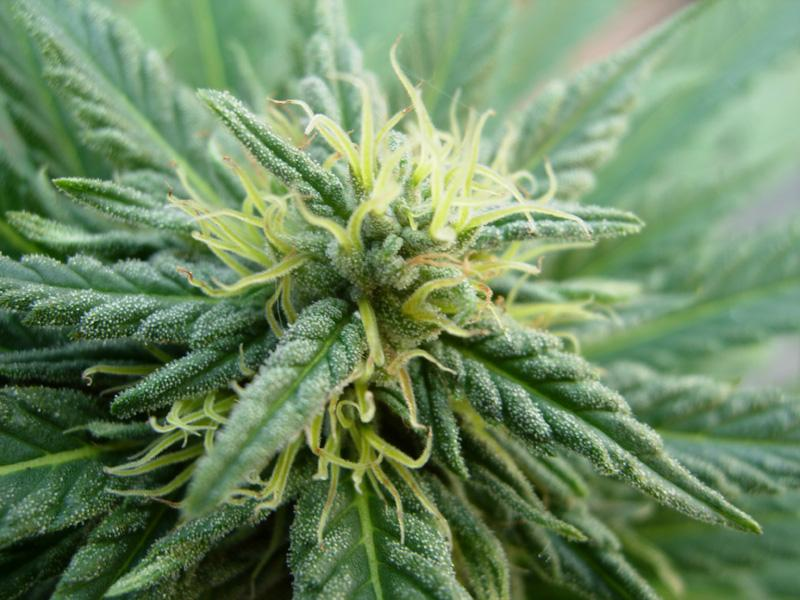 02september-2017-passion#1_compact_plant_top_cola_close_up.jpg