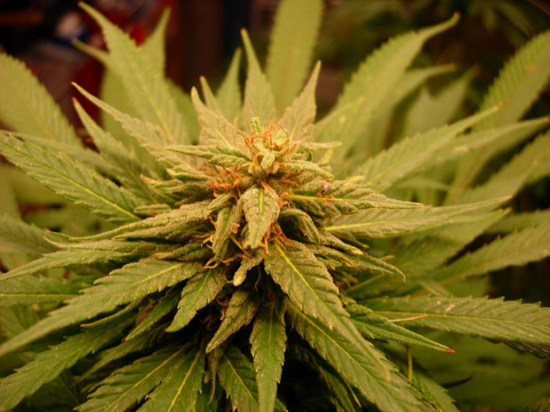 10september-2017-passion#1_leafy_plant_top_bud_close_up.jpg