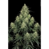 Worlds most expensive strains - last post by Mcsm