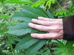 fresian leafes