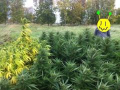 Holy Grail Kush & Lemon Skunk