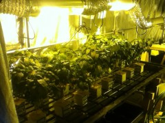 Hot Pepper, Jalapeno  indoor Hydro grow