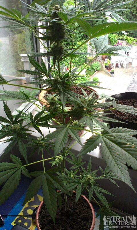 Nefertiti (Black Widow x White Widow) autoflower