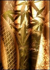 midgetalboom
