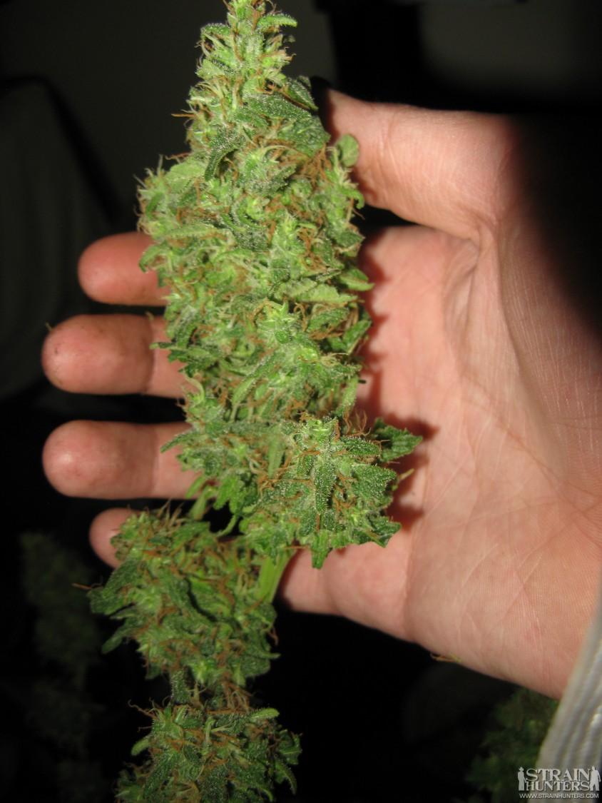 Gws harvest pics 028