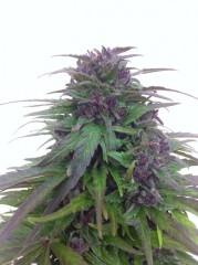 Bisho purple