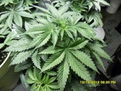Blue Dream 24 days Old A.