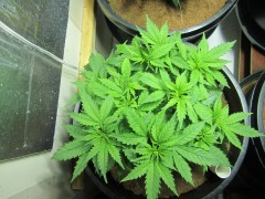 topped and lst gws
