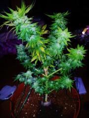 Caboose #3 Harvest 27.2.2013