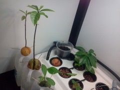 Keepin it tropical with Avocado trees hydroponically