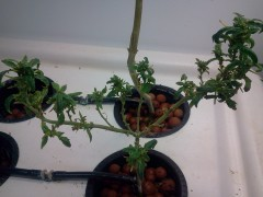 Sour Diesel Bonsai 2014 02 Can it be revegitated into more?