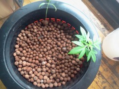 2014 03 06 Transplanted to 5gal DWC