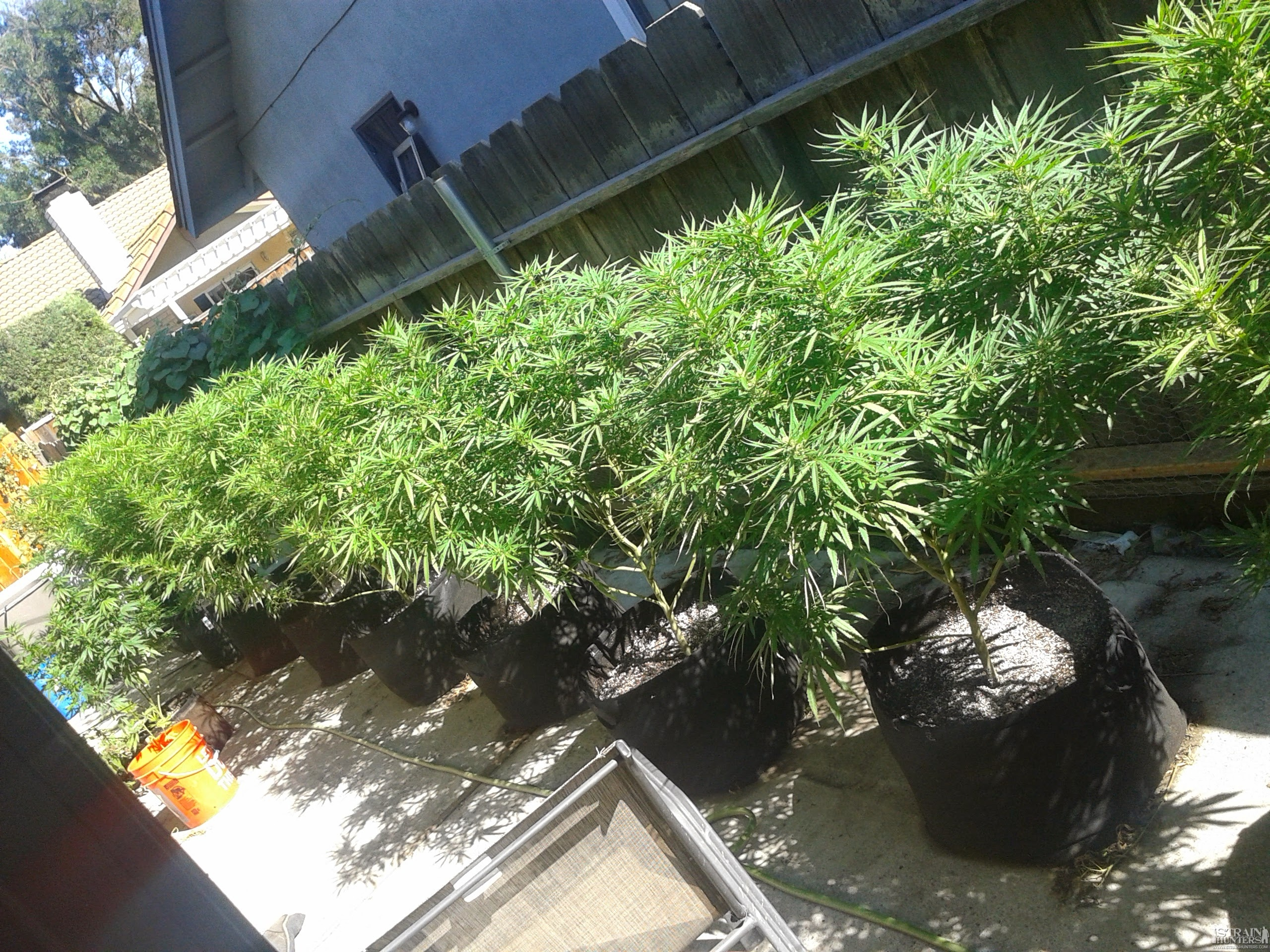 Hello All My Outdoor Blue Dreamsedited Pictures Grow
