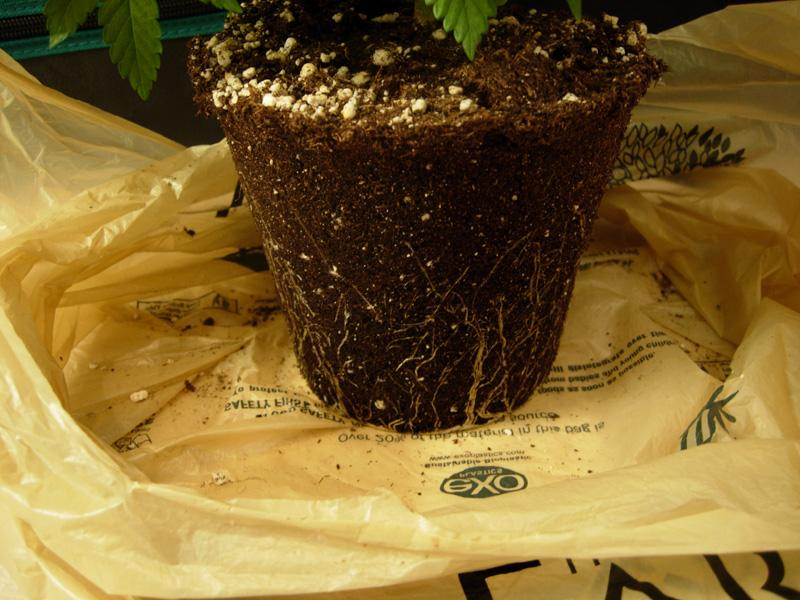 18june-2017_kings_kush_roots.jpg