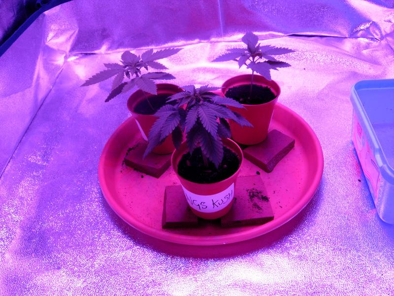 26may-2017_kings_kush_3week_tent.jpg