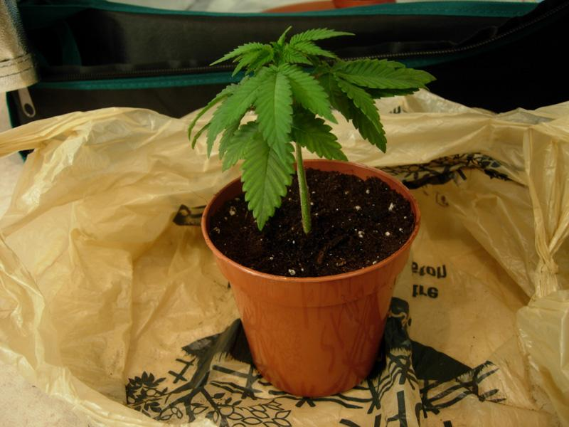 26may-2017_kings_kush_new_pot.jpg