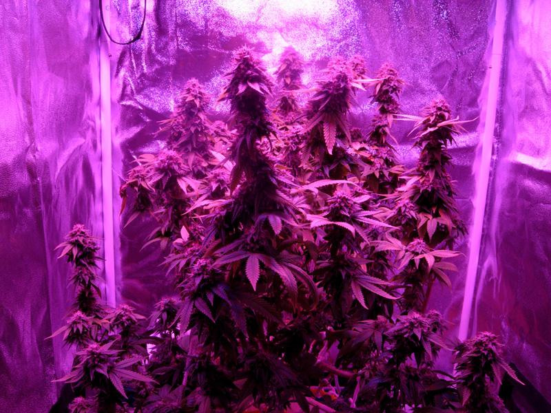 08october-2017_kings_kush_grow_tent_under_led.jpg