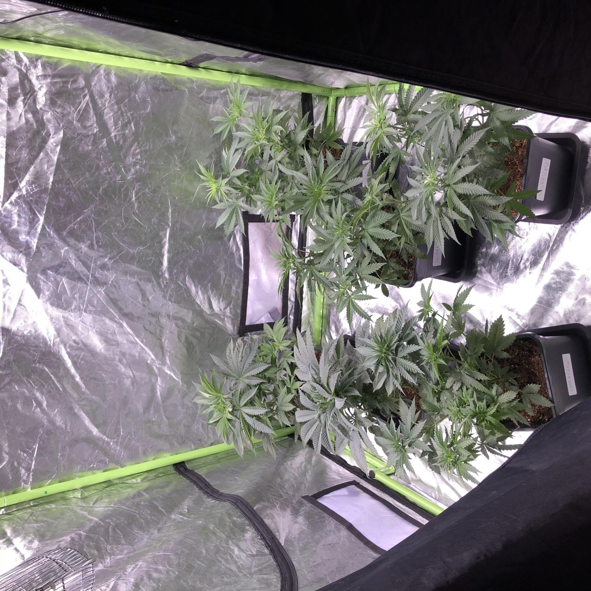 Slurricane Jaffa cake Remo Chemo soil grow - Grow Journals Indoor