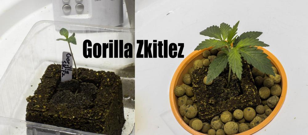 gorilla.thumb.jpg.a740e5cc1243b8b1069787f83cf4dc59.jpg