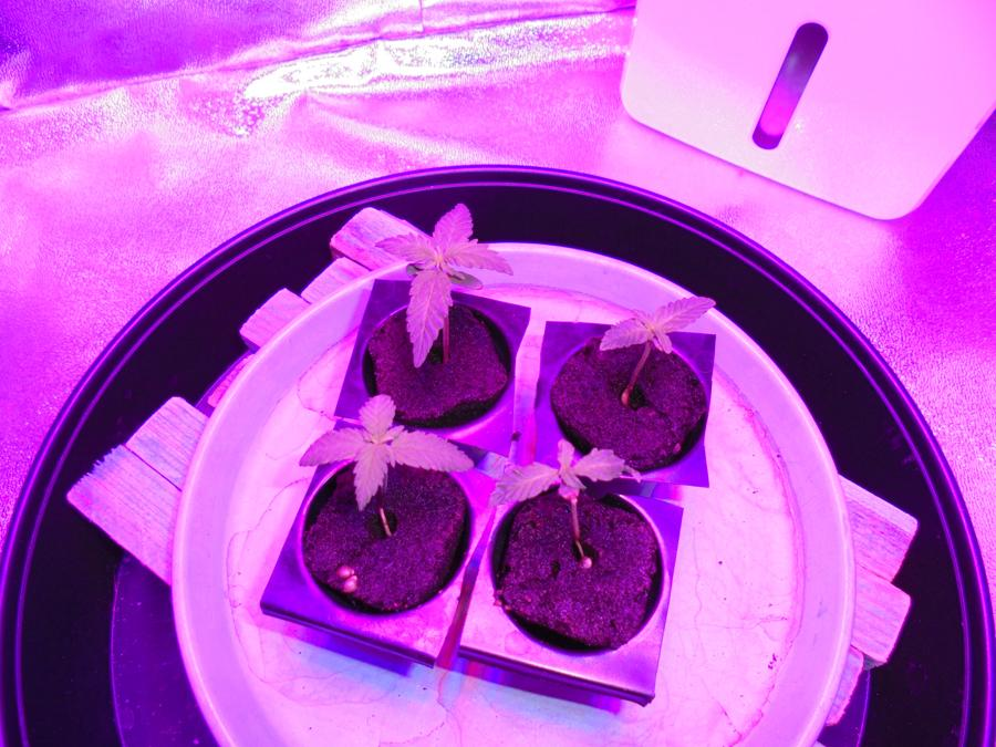 02march-2019-seedlings-in-grow-tent.jpg