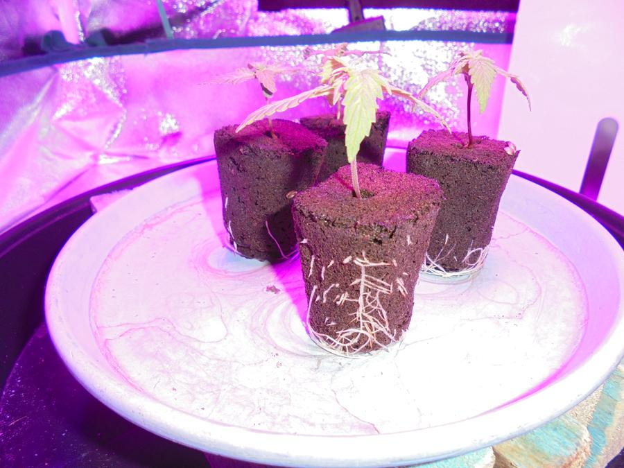 04march-2019-seedling-roots.jpg