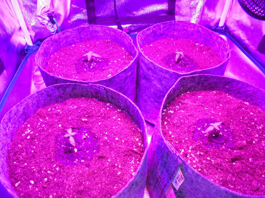 04march-2019-seedlings-in-fibre-pots-in-grow-tent.jpg