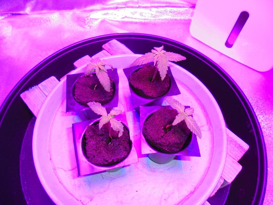 04march-2019-seedlings-in-grow-tent.jpg