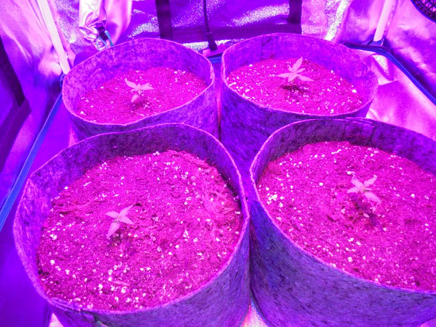 06march-2019-sweet-mango-seedlings-in-grow-tent.jpg