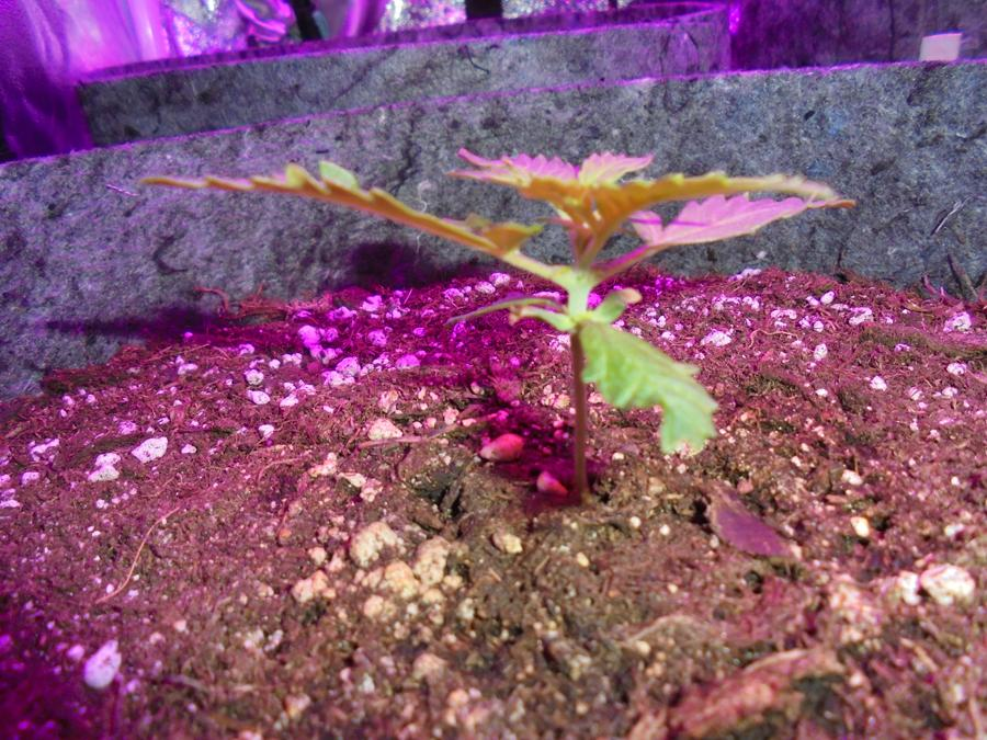 11march-2019-sweet-mango-seedling-small-side-view.jpg