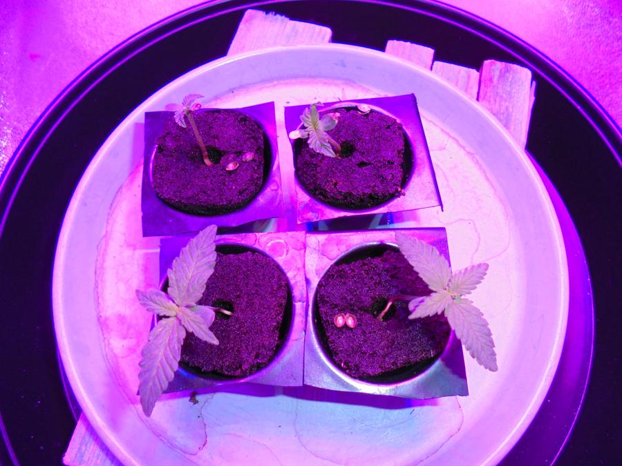 28feb-2019-seedlings-in-grow-tent.jpg