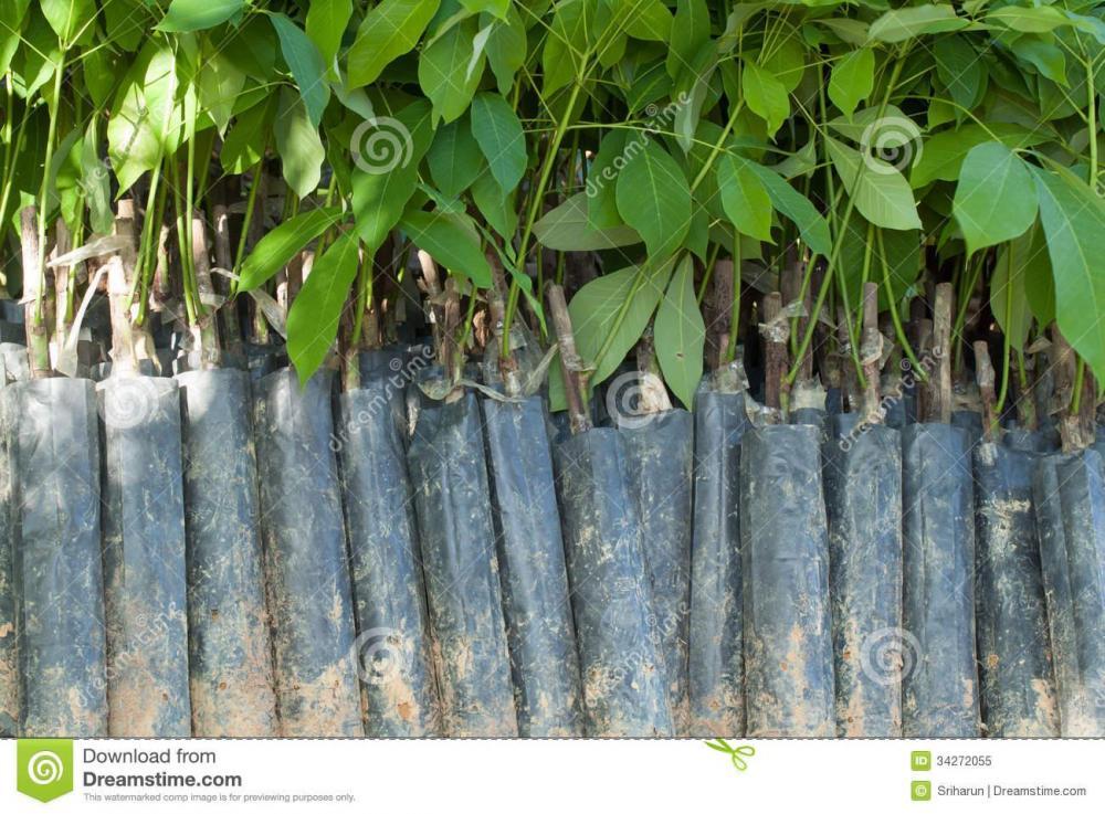 young-plant-rubber-tree-black-plastic-bag-34272055.jpg