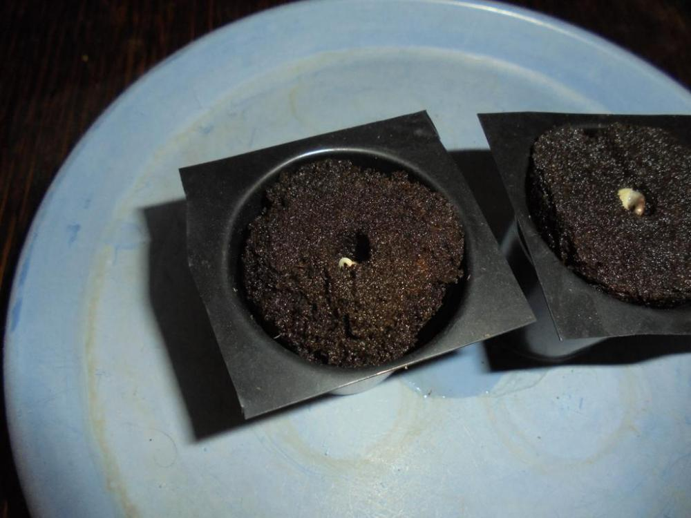 24april-2019-sweet-valley-kush-popped-beans-root-it-plugs.jpg