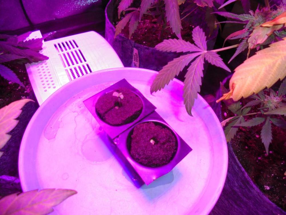 25april-2019-sweet-valley-kush-root-it-plugs-grow-tent.jpg